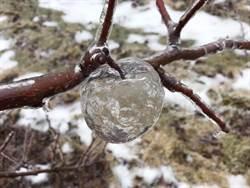 急凍果園!樹枝驚現絕美「幽靈蘋果」 網驚嘆