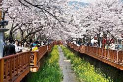 「花」現韓國!粉紅櫻花、黃色油菜花、鬱金香節競美趣