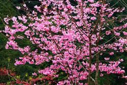 南投》杉林溪畔櫻花紅 夜遊林間賞螢光