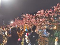 內湖樂活夜櫻季 延長至月底