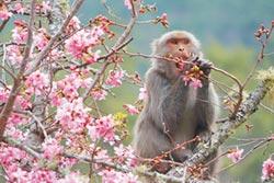 賞櫻遇潑猴 這幾招可自保
