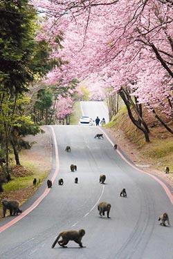 武陵遊客瘋賞櫻 野猴搶道當路霸