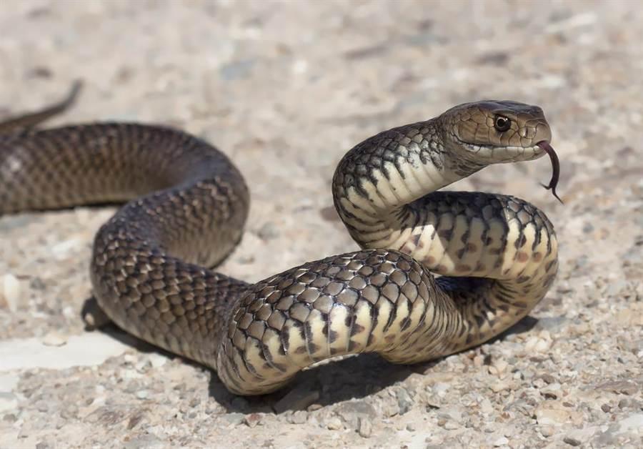 嬰剛放上床!驚見「世界第二毒蛇」竄出 母嚇到賣房(示意圖/達志影像)