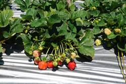 氣候紊亂衝擊草莓產量神農獎許明興培育新苗