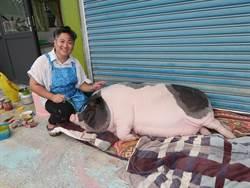 豬寶貝「吳肉圓」最嬌氣 爸媽開店日夜陪伴她