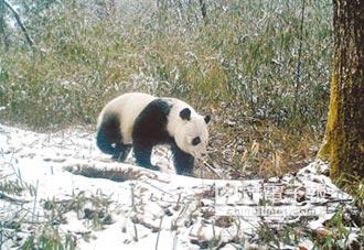 貓熊棲地變遷 退縮至川陝甘