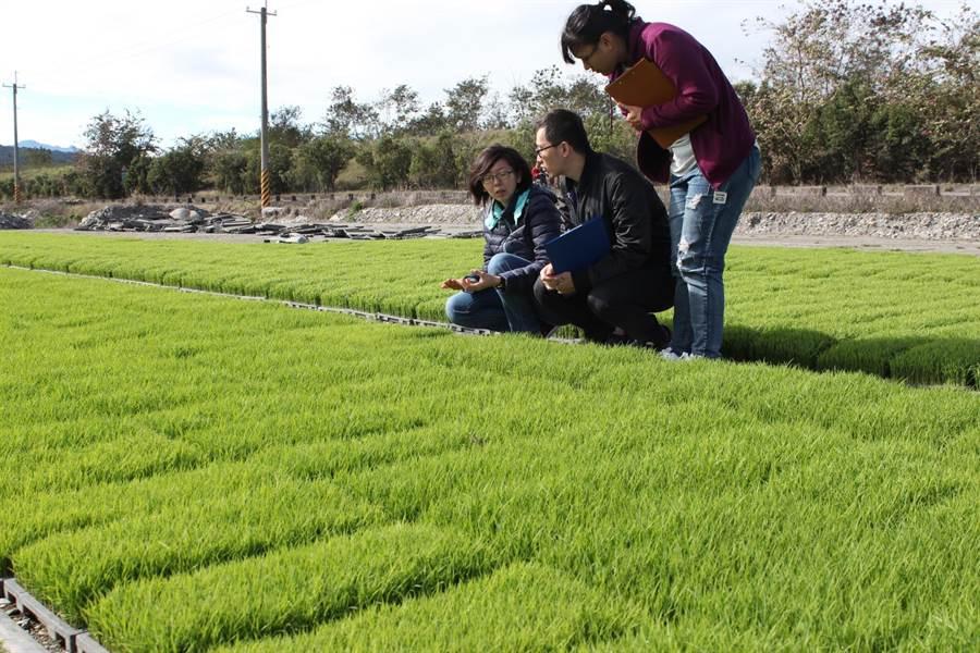 台東池上鄉公所舉辦全國首創的秧苗選美比賽。(楊漢聲翻攝)
