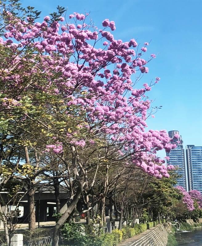 台中市潮洋溪畔的風鈴木盛開,浪漫的景色美不勝收!(陳世宗翻攝)