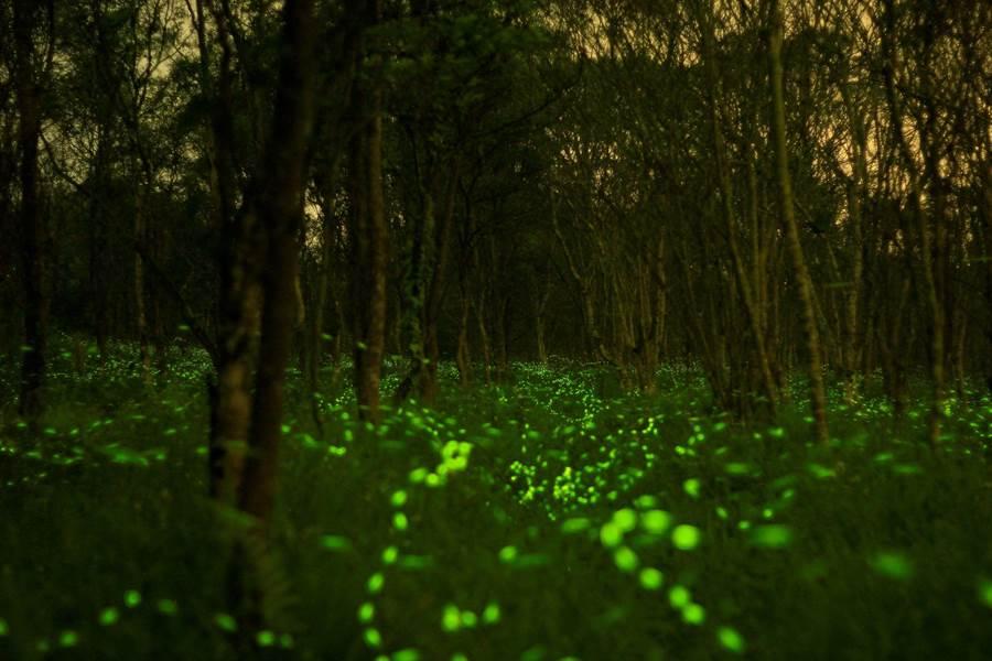 花蓮大農大富龍貓秘密森林,夜間夢幻螢光齊飛舞。(花蓮林管處提供)