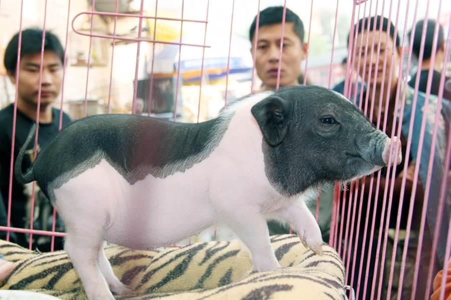 又逢豬年,香港又再度流行寵物豬,不過這些大多由網上購買的寵物豬都從大陸走私進口且未經檢疫,可能帶有非洲豬瘟病毒,成為香港防疫上的重大漏洞。圖為北京寵物市場上的寵物豬。(圖/新華社)