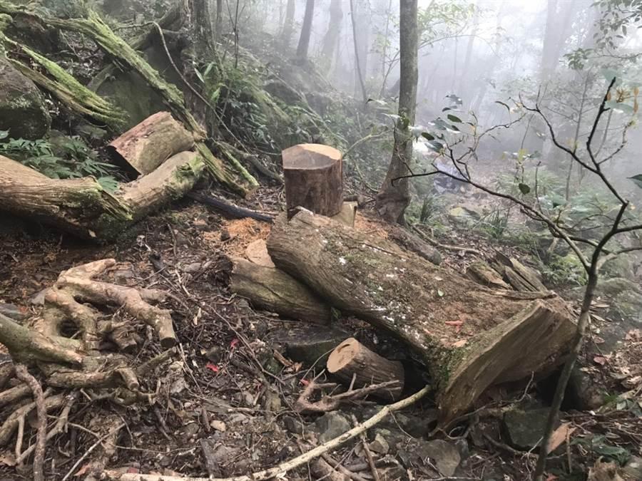 新北地檢署昨晚在三峽有木里當場查獲以盧男為首的山老鼠集團,並起出共19塊、重達165公斤,粗估加工後市價逾數百萬元的台灣肖楠木。(許哲瑗翻攝)