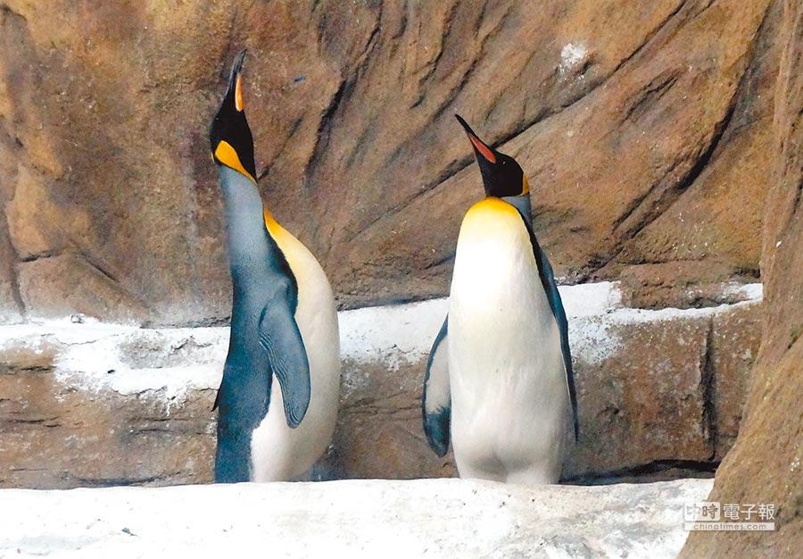 國王企鵝會伸長脖子將頭側向一邊,再慢慢恢復到原來姿勢,彷彿在表達「選我、選我、選我」。(台北市立動物園提供)