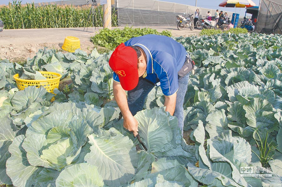 高麗菜種植登記試辦,每位農民登記上限2公頃,不僅可獲有機肥補助,遇價格下跌時,有每公斤6元以上的保價收購,如崩盤每公頃也有10萬元救助。(許素惠攝)