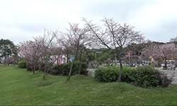 天元宮三色櫻滿開!三芝這裡櫻花、杜鵑花也比美