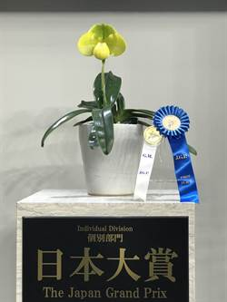 東京世界蘭展首獎是只開1朶大花的拖鞋蘭!