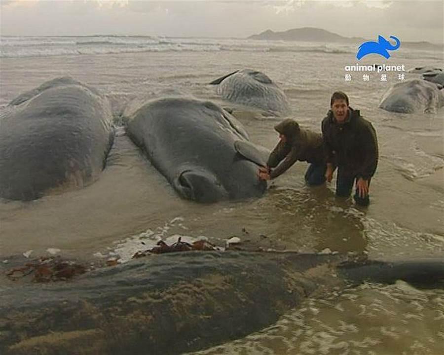 超過100多隻抹香鯨於塔斯馬尼亞擱淺,史帝夫和夥伴們立即前往救援,記錄下這令人心碎的畫面。(動物星球頻道提供)