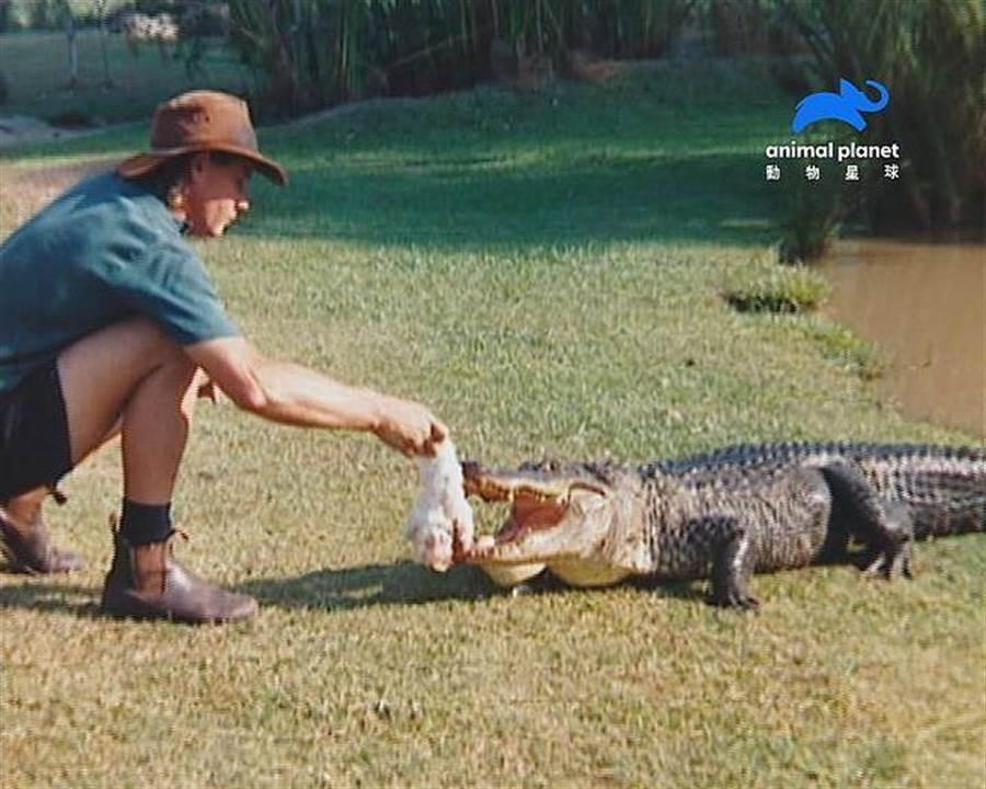 當別人在遛狗時,史帝夫正以全雞餵食飢餓的鱷魚。(動物星球頻道提供)