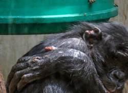 猩猩在德國動物園遭霸凌    全球40萬人為牠請願