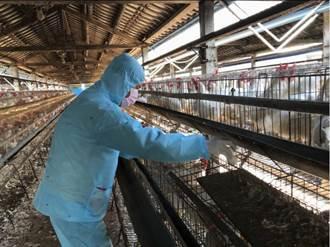藍雞生毒蛋?抓到了!網:毒蛋是馬時代蛋場的產物