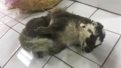 少女腳邊「毛毛的」!花蓮又傳狂犬病鼬獾闖家中