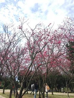 陽明山花季今開幕 櫻花、杜鵑花爭艷