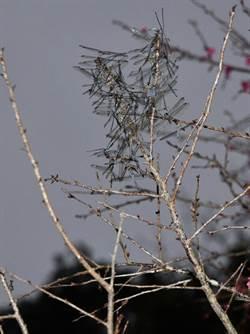 日月潭「櫻花蜻蜓」 白櫻樹上「一箭雙鵰」