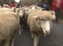 清境奔羊節熱鬧開跑 綿羊脫隊吃草超可愛