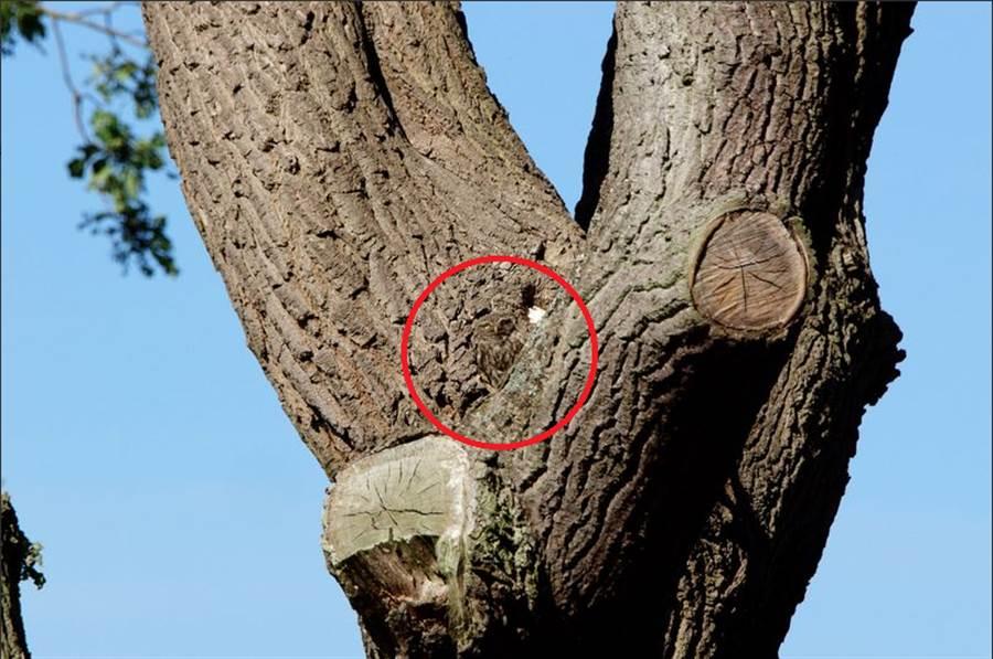 小貓頭鷹在這,你有發現嗎?(圖翻攝自/推特/smtm_LFC)