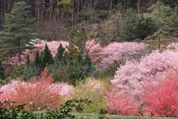 台灣之美》武陵農場櫻花季 粉紅佳人漫山遍野