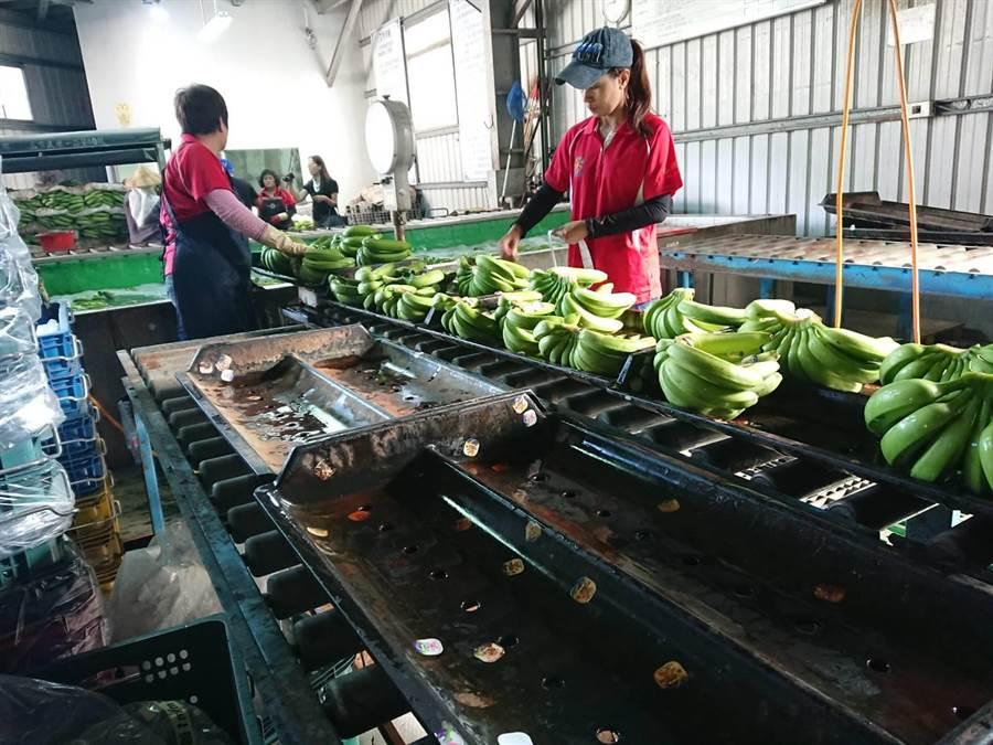工人挑選品質好的香蕉準備裝上貨櫃銷售到日本。(林雅惠攝)