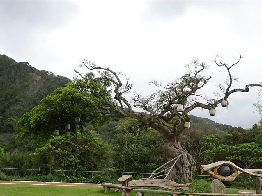 花蓮縣水璉國小校園百年老榕樹罹患煤煙病,原本枝條已乾枯。(縣府農業處提供)