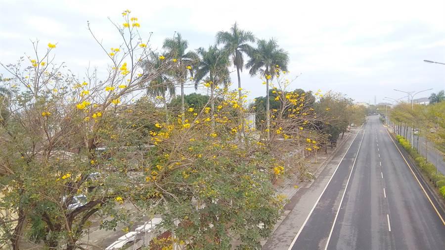 台1線彰化溪州路段的黃金風鈴木已經陸續開花。(鐘武達攝)