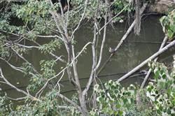 魚池鄉「大雁村」乍見花嘴鴨棲息 地名引話題