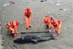 難過!苗栗外埔漁港 驚見瓶鼻海豚擱淺腐爛