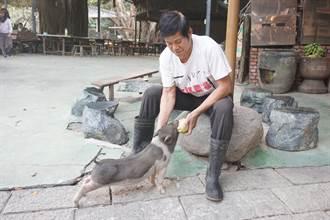台南大坑農場迷你豬人氣爆夯