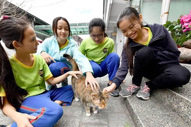 五城國小最資深的校貓「陳喵喵」,喜歡親近學童,與師生互動佳。(沈揮勝攝)