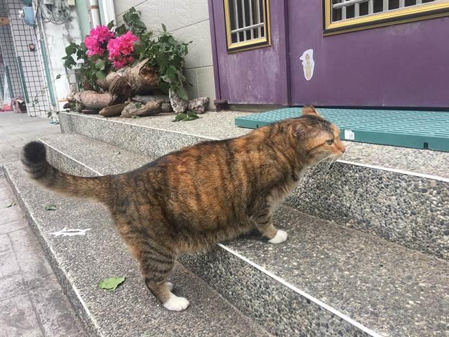 「陳喵喵」重達5公斤(8台斤),牠正要進入貓屋。(沈揮勝攝)