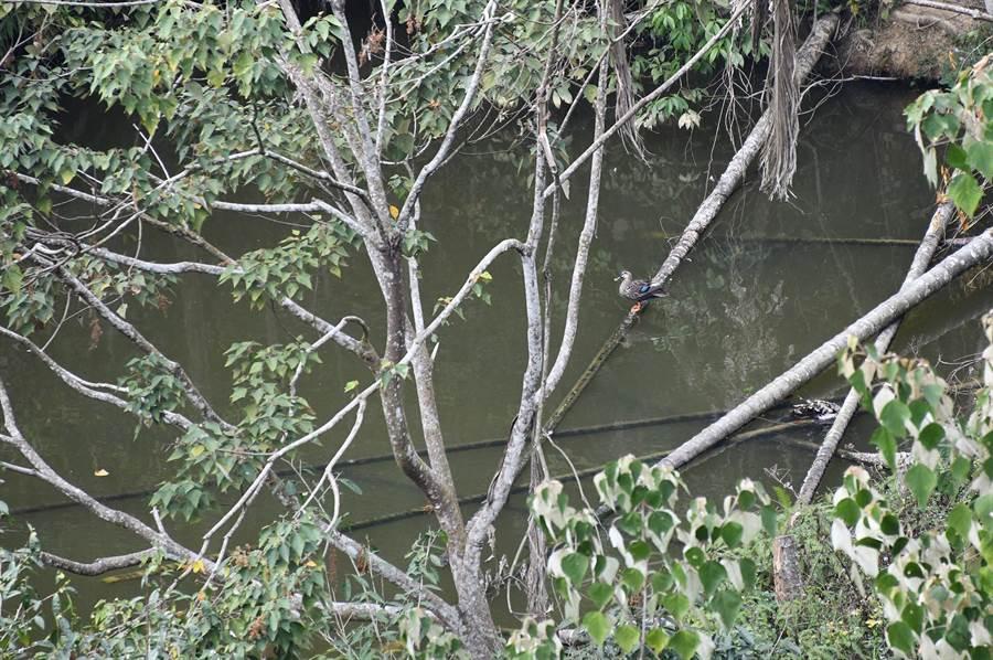 魚池鄉大雁村1口深山池塘,乍見花嘴鴨停棲在傾倒的檳榔樹幹,在台灣島中心點附近度冬。(沈揮勝攝)