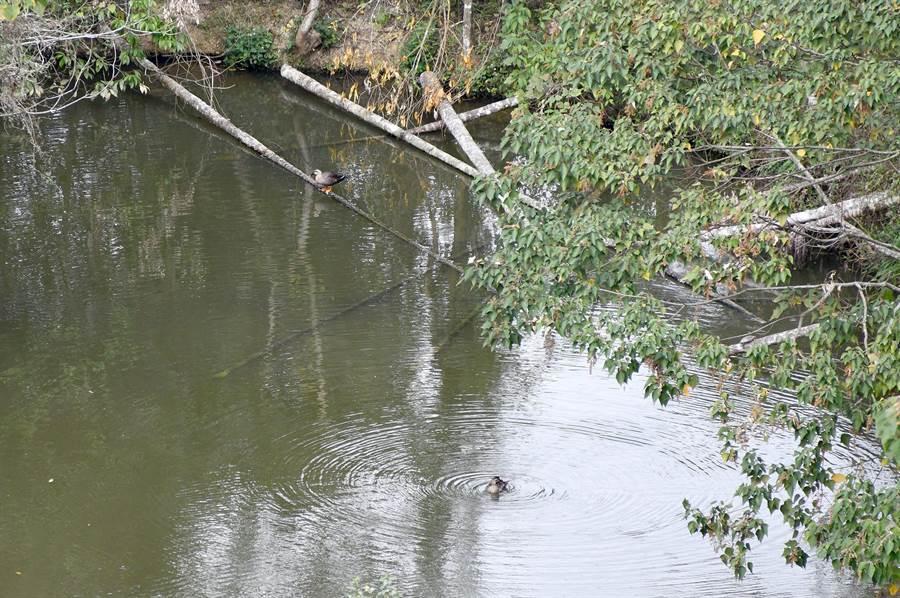 在魚池鄉某池塘中度冬的花嘴鴨,看來至少有2隻。(沈揮勝攝)