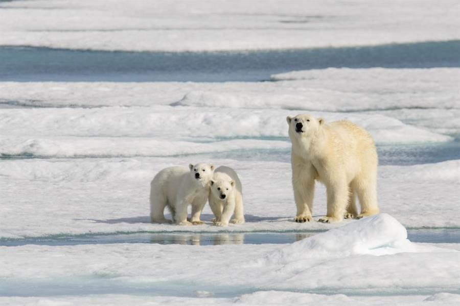俄羅斯西北的極圈之地「新地島」因大批北極熊湧入,雖然一度進入緊急狀態,好在天氣?#21482;?#24489;酷寒常態,北極熊藉著冰棚再現的機會北上返回。(示意圖/達?#23621;?#20687;)