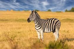 影》斑馬為什麼有紋路?學界又有新證據
