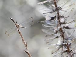 金龍山櫻花蜻蜓排成串 吉祥鳥「朱鸝」美麗現蹤