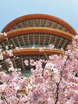 櫻花季提早綻放 日韓觀光客來台朝聖
