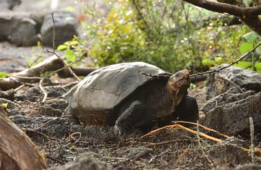 「消失112年」稀有巨龜現蹤 專家急送育種中心(圖翻攝自推特/GalapagosConservancy)