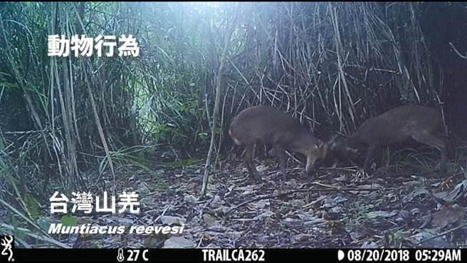 花蓮林區管理處在大農大富建置的紅外線自動相機,拍攝到兩隻山羌在互槓。(花蓮林管處提供)
