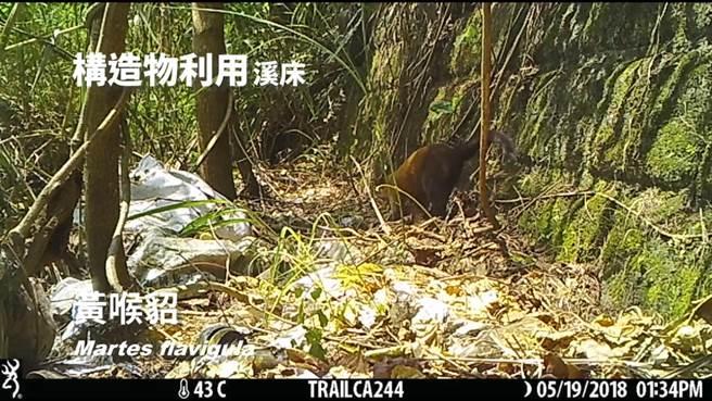 花蓮林區管理處在大農大富建置的紅外線自動相機,拍攝到黃猴貂利用溪床構造物行動。(花蓮林管處提供)