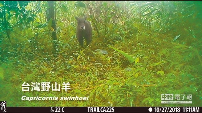 台灣野山羊。(花蓮林管處提供)