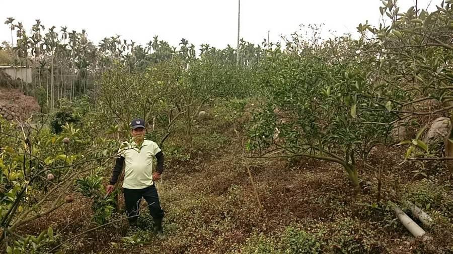 柳丁因為太乾旱缺水,開不出花來。(周麗蘭攝)