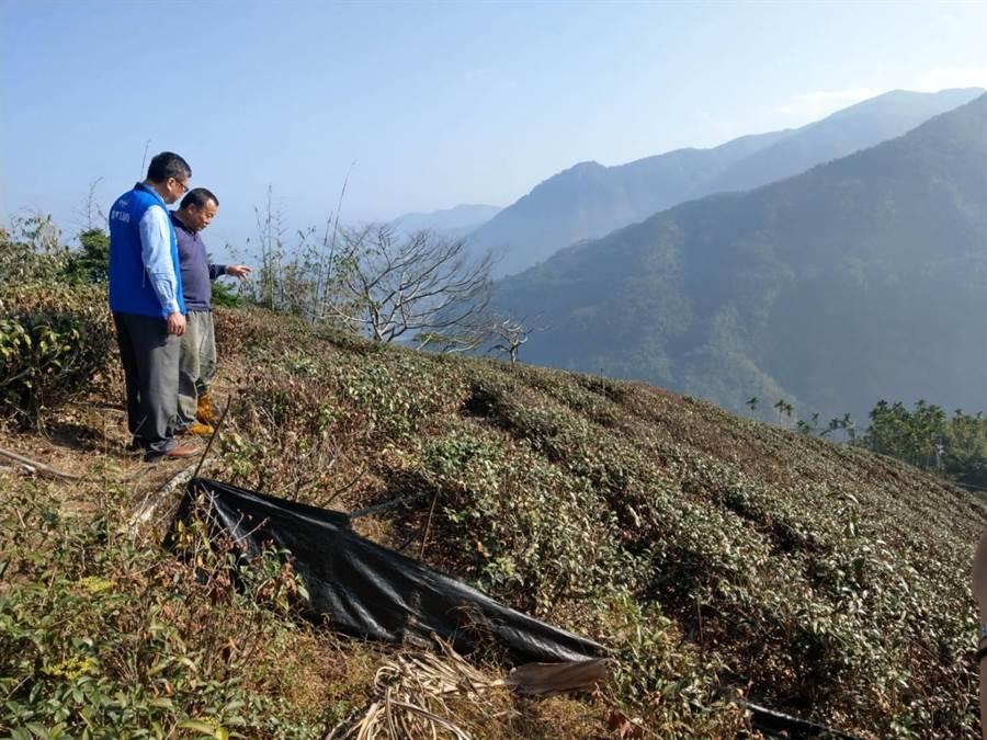 樟湖村位於山泉水源末端的茶園乾枯嚴重,部分植株已經枯死,縣府農業處人員上山勘查。(周麗蘭攝)