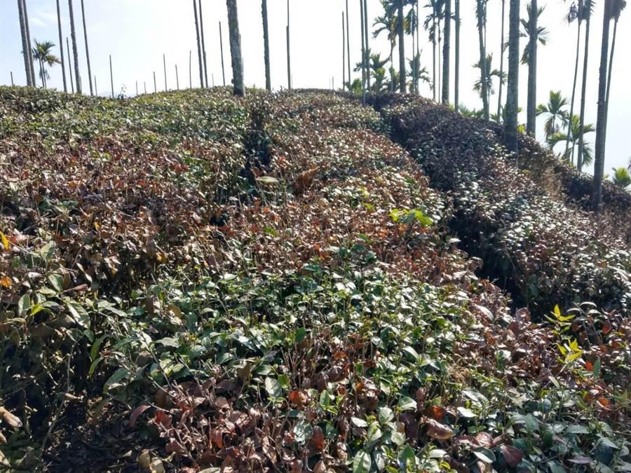 缺水茶樹已經枯死,老茶農表示從沒發生過這麼嚴重旱災。(周麗蘭攝)